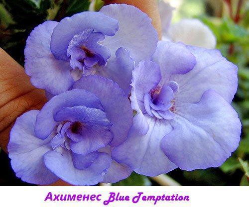 Ахименес Blue Temptation