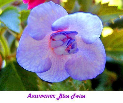 Ахименес Blue Twice