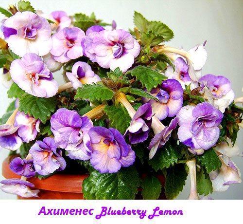 Ахименес Blueberry Lemon
