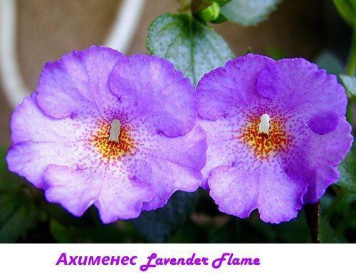 Ахименес Lavender Flame