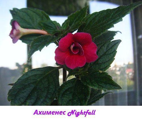 Ахименес Nightfall