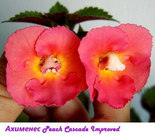 Ахименес Peach Cascade Improved