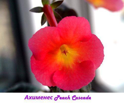 Ахименес Peach Cascade