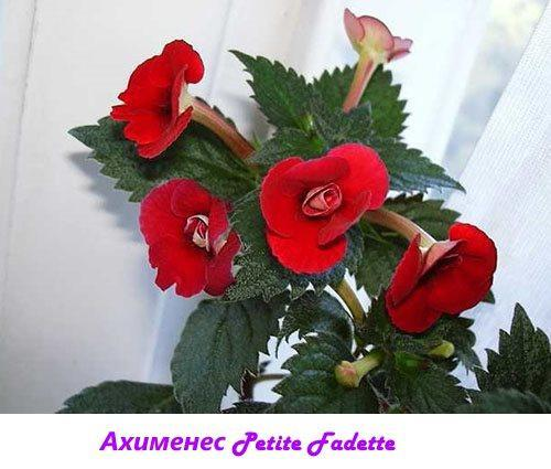 Ахименес Petite Fadette