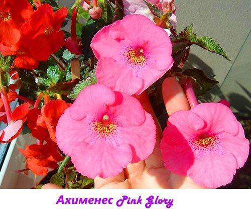 Ахименес Pink Glory