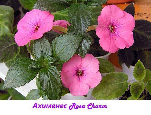 Ахименес Rosa Charm
