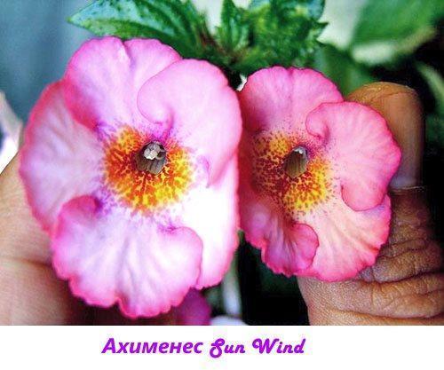 Ахименес Sun Wind