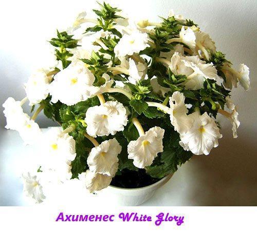 Ахименес White Glory