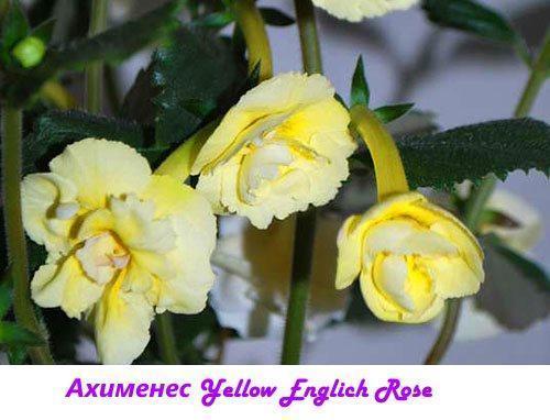 Ахименес Yellow English Rose