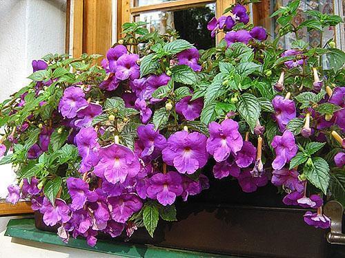Ахименесы радуют своим цветением