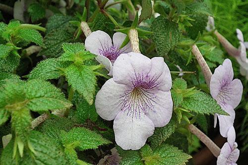 Декоративное растение ахименес