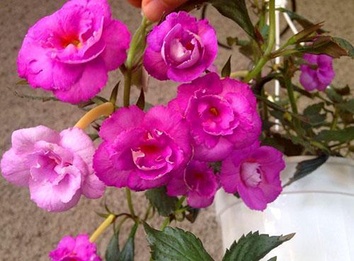 Декоративный обильно цветущий ахименес