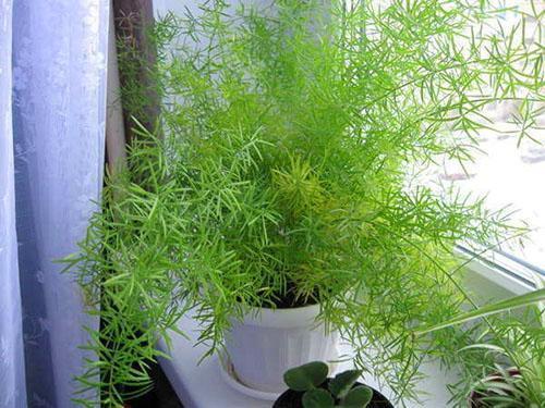 Любимое взрослое растение можно размножить делением куста