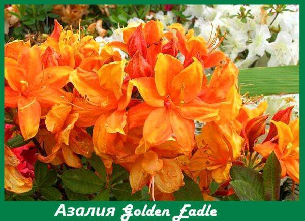 Азалия Golden Eagle