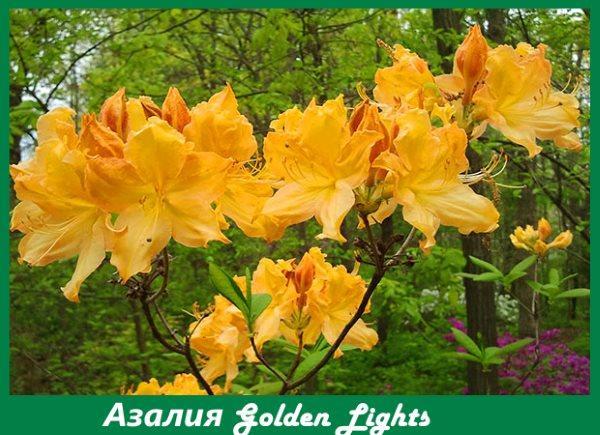 Азалия Golden Lights