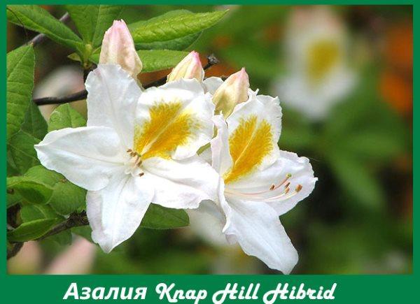 Азалия Knap Hill hybrid Persil