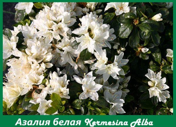 Азалия белая Kermesina Alba