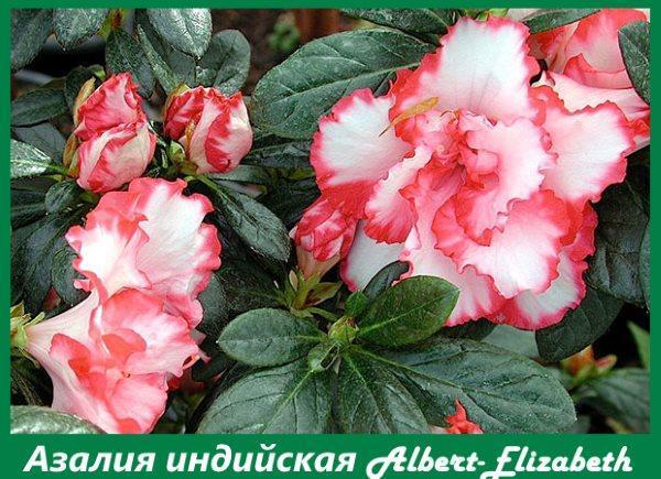 Азалия индийская Albert-Elizabeth