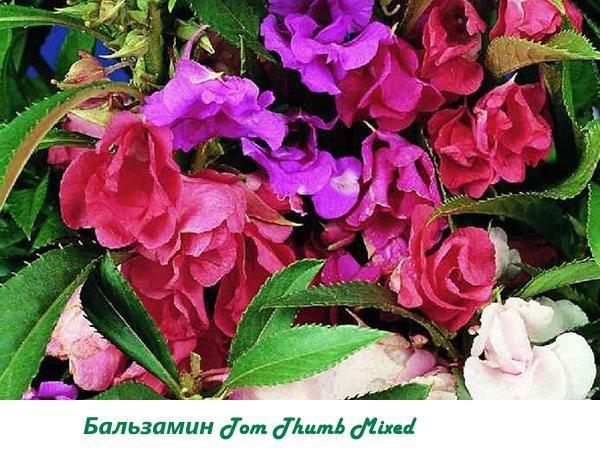 Бальзамин Tom Thumb Mixed
