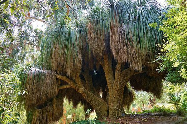 Бокарнея длиннолистая в природе