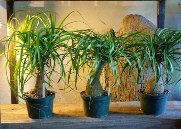 Бокарнея как комнатное растение