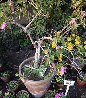 Бугенвилллия сбросила листья и цветы