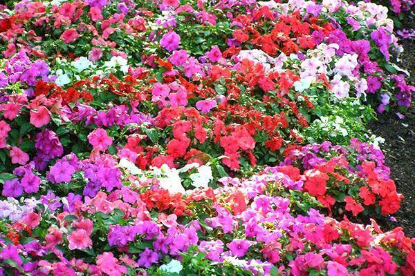 Цветет бальзамин садовый