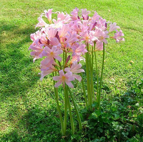 Цветут прекрасные амариллисы