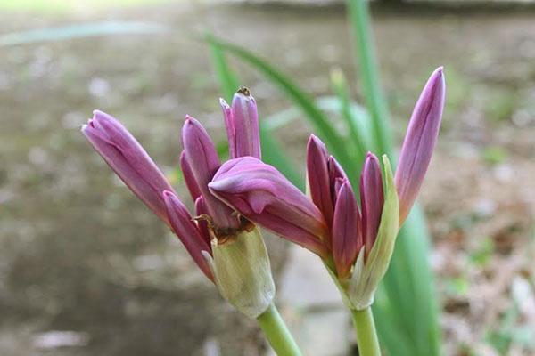 Домашний амариллис может порадовать периодическим обильным цветением