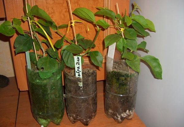 Бугенвиллия - размножение из семян, черенками в домашних ...