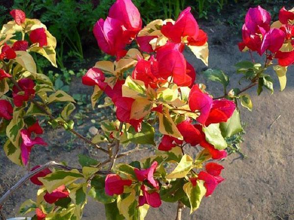 Гибридная бугенвиллия San Diego Red с пестрой листвой