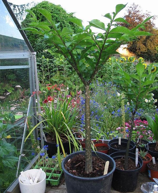 Крупные клубни растения высаживают в просторную емкость