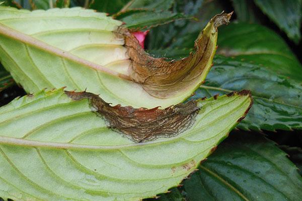 Листья бальзамина, пораженные гниением