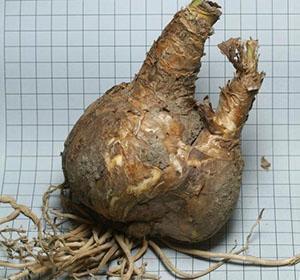 Амариллис родина растения