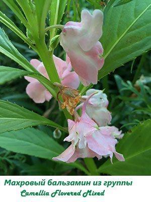 Махровый бальзамин из группы Camellia Flowered Mixed