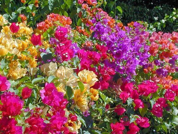 Многоцветные бугенвиллии