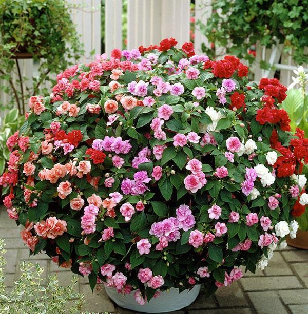 Многообразие цветения бальзамина