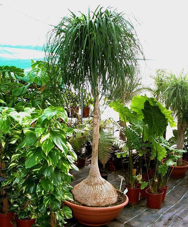 Молодое растения бокарнеи отогнутой в оранжерее