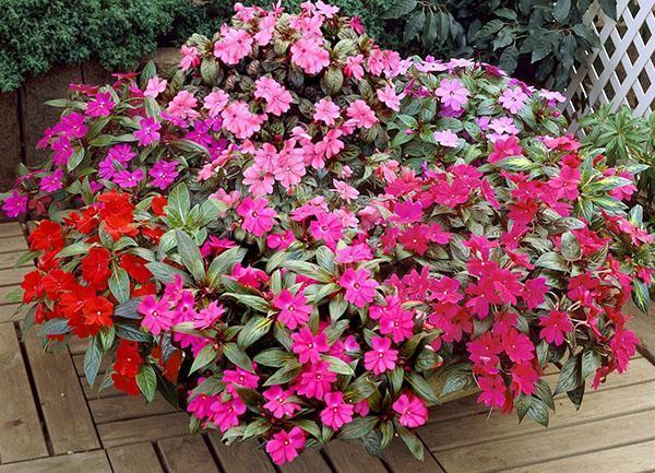 барвинок фото и выращивание