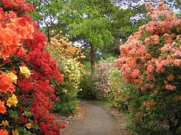 Обильное цветение азалии в саду