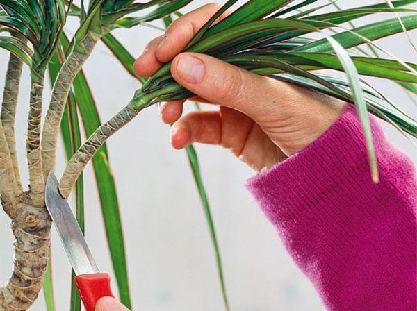 Обновление растения проводят путем обрезки макушки