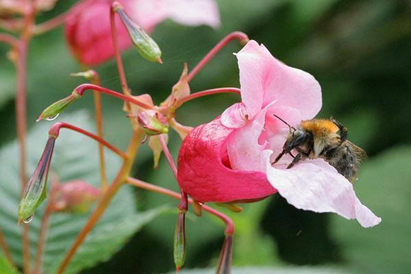 Опыление цветков бальзамина