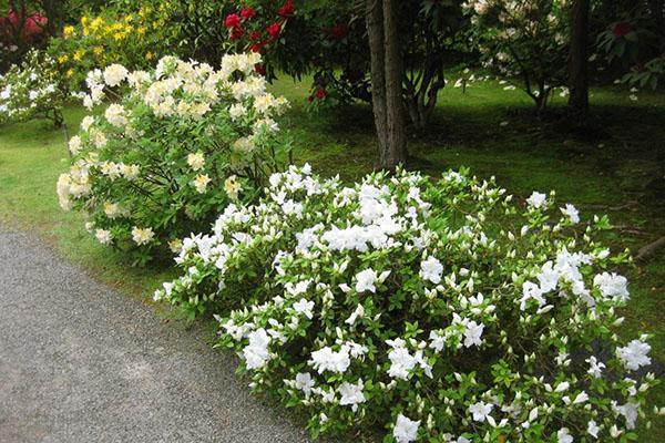 Азалия садовая - уход, обрезка, посадка, время цветения, уход зимой, видео