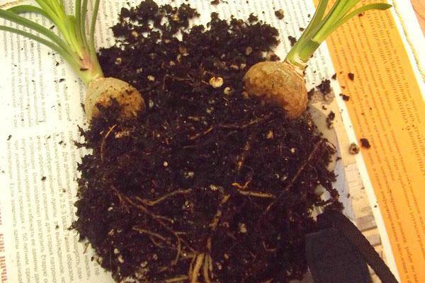 При загнивании корней необходимо пересадить растение, удалив больные корешки.