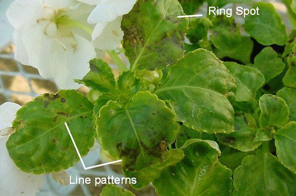 Проявление вирусной мозаики на листве бальзамина