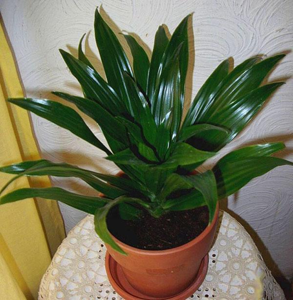 Растение драцена не любит слишком высокую температуру