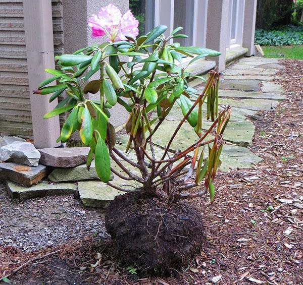 Растение требует пересадки в другой грунт