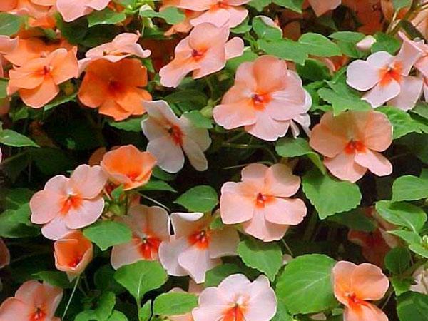 Растению для обильного цветения необходимо тепло