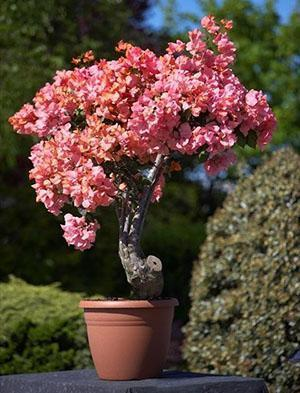 Штамбовое деревцо бугенвиллия Александра