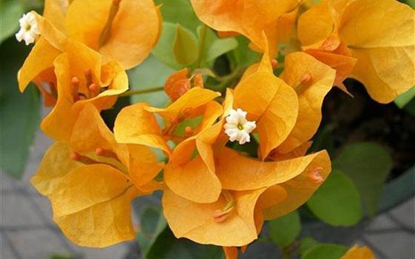 Бугенвиллия в домашних условиях когда цветет 37